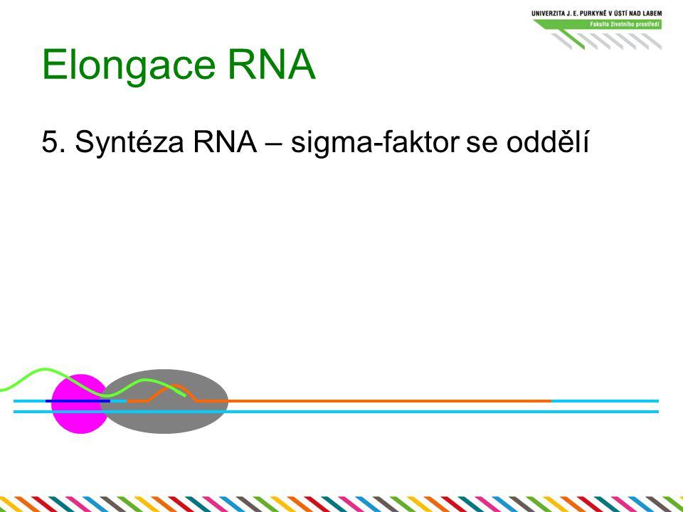 Elongace RNA 5. Syntéza RNA – sigma-faktor se oddělí