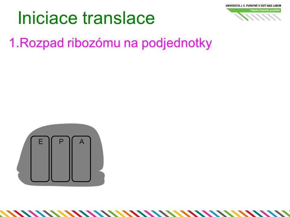 Iniciace translace 1.Rozpad ribozómu na podjednotky E P A