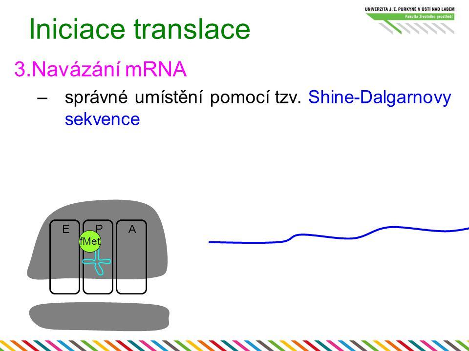 Iniciace translace 3.Navázání mRNA