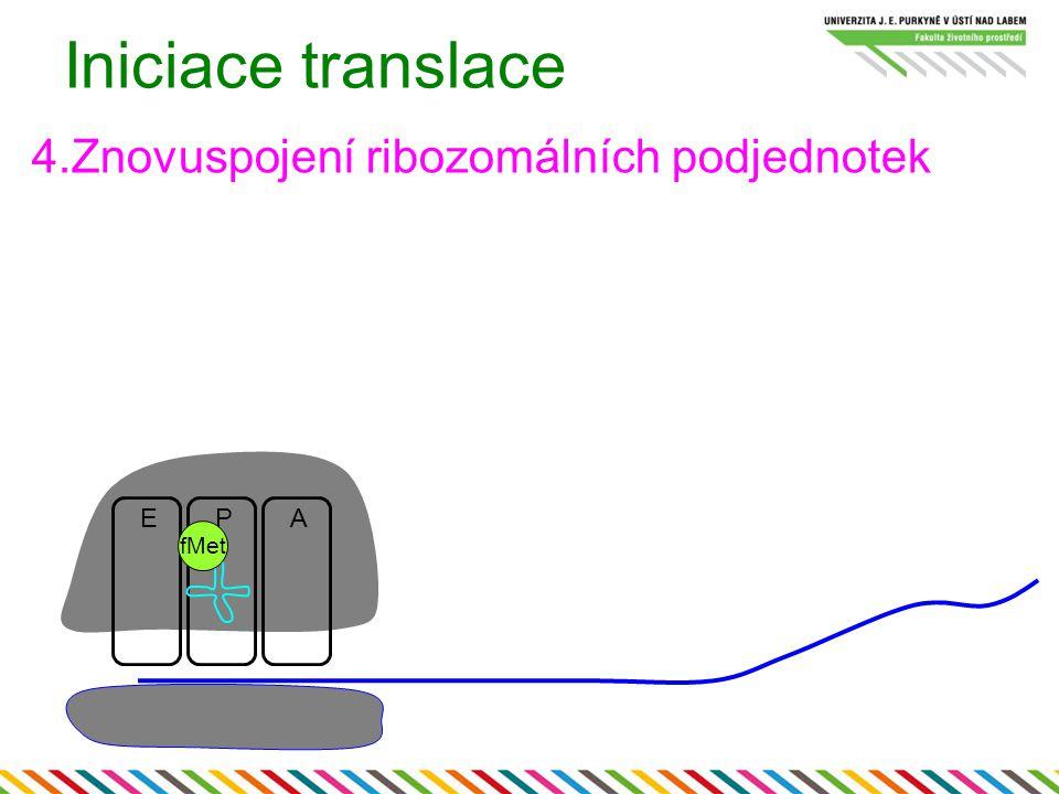 Iniciace translace 4.Znovuspojení ribozomálních podjednotek E P A fMet