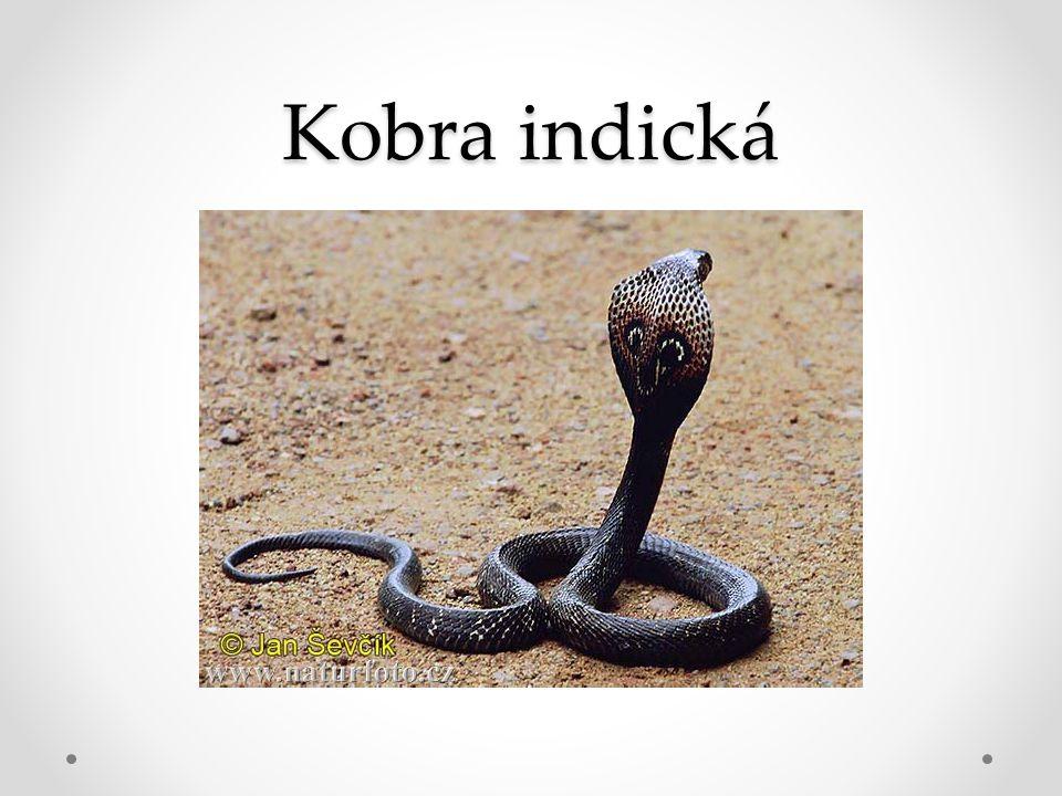 Kobra indická