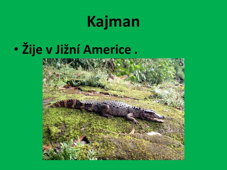 Kajman Žije v Jižní Americe .