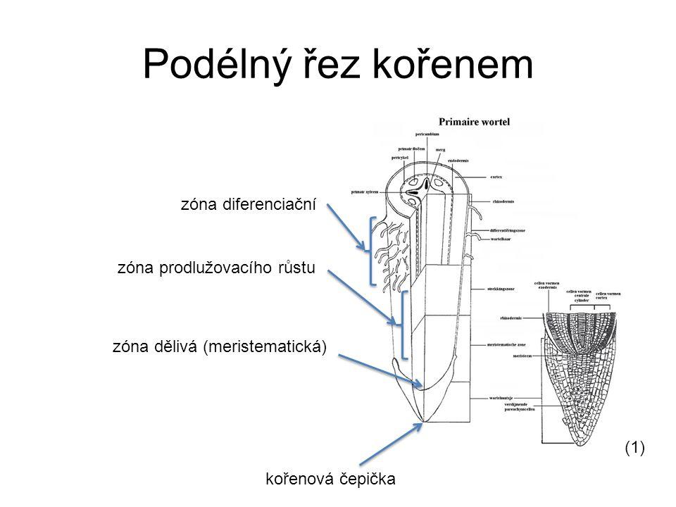 Podélný řez kořenem zóna diferenciační zóna prodlužovacího růstu