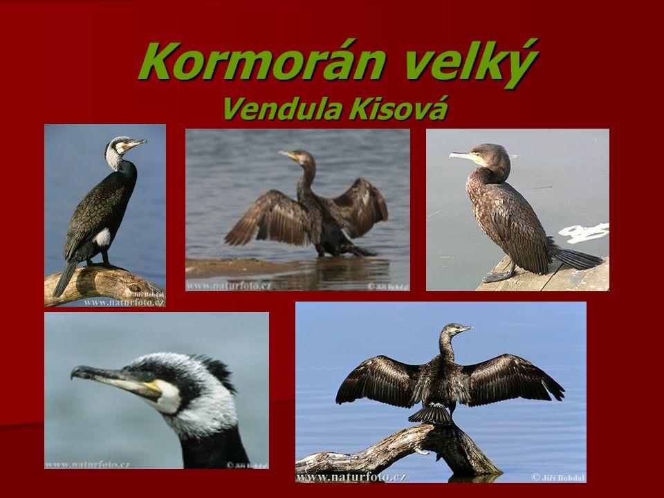 Kormorán velký Vendula Kisová