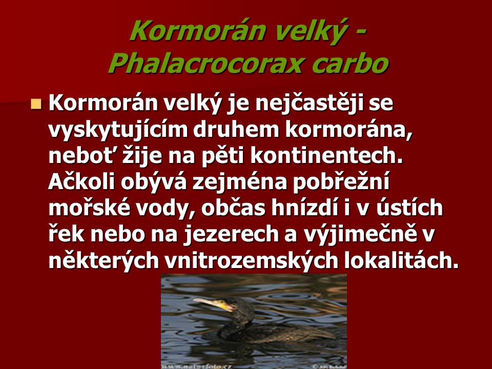 Kormorán velký - Phalacrocorax carbo