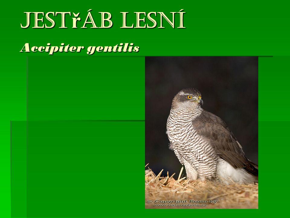 Jestřáb lesní Accipiter gentilis