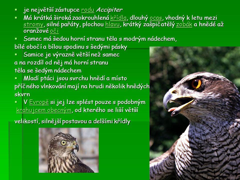 je největší zástupce rodu Accipiter