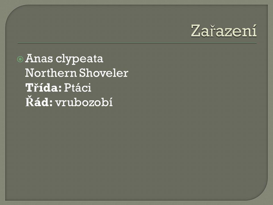 Zařazení Anas clypeata Northern Shoveler Třída: Ptáci Řád: vrubozobí
