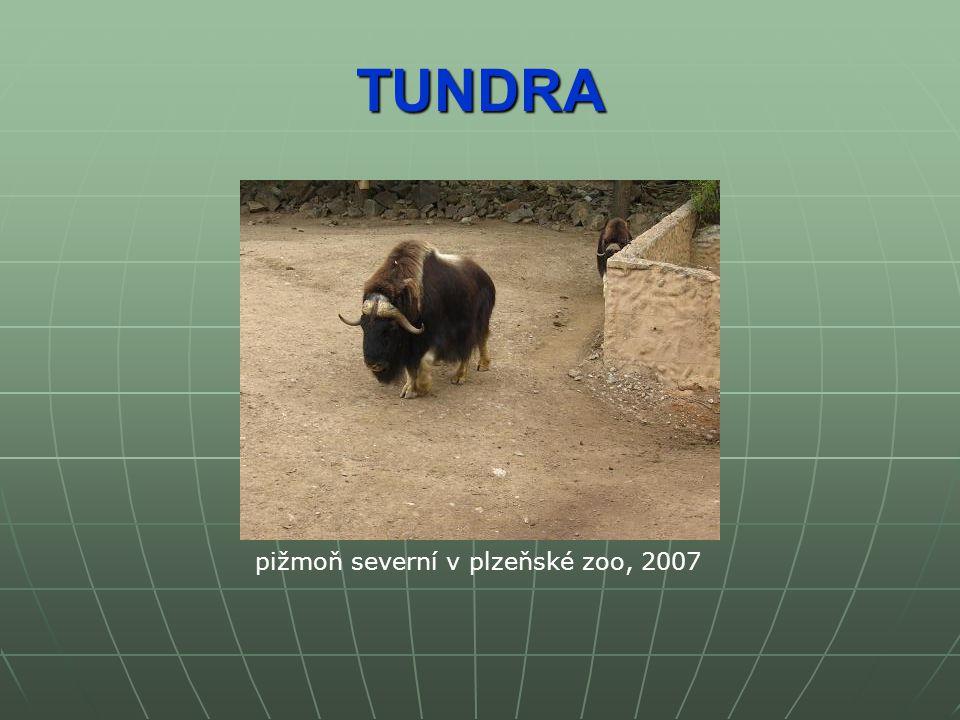 TUNDRA pižmoň severní v plzeňské zoo, 2007