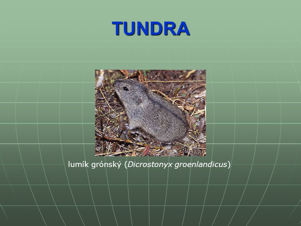 TUNDRA lumík grónský (Dicrostonyx groenlandicus)
