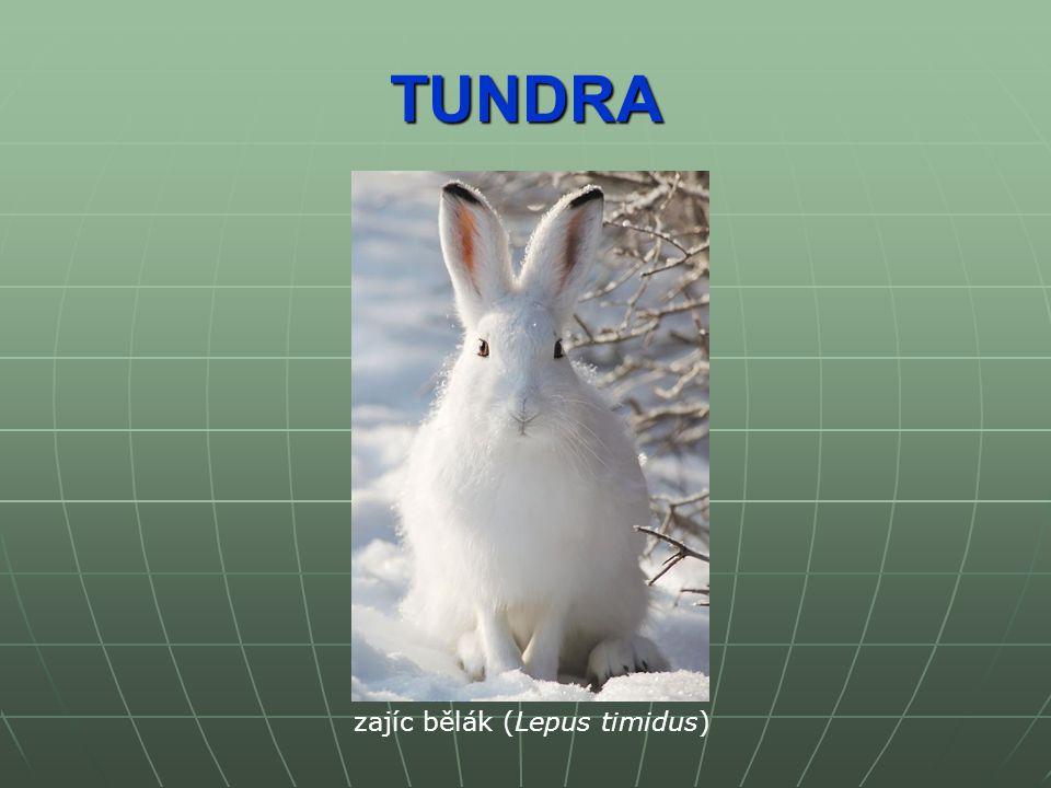 TUNDRA zajíc bělák (Lepus timidus)