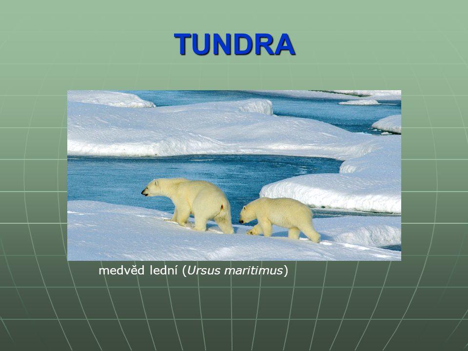 TUNDRA medvěd lední (Ursus maritimus)