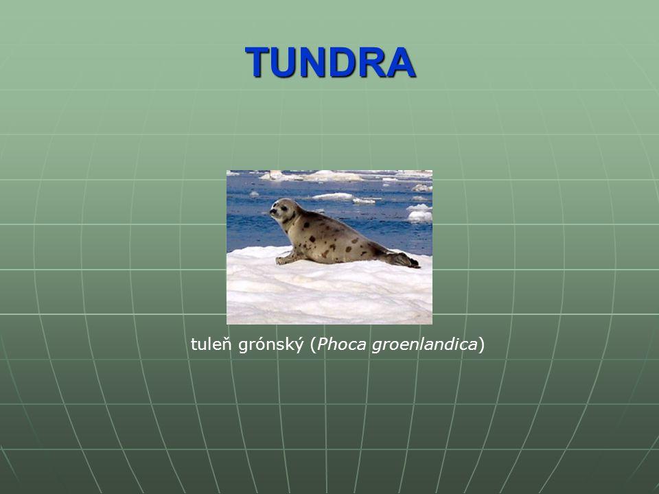 TUNDRA tuleň grónský (Phoca groenlandica)