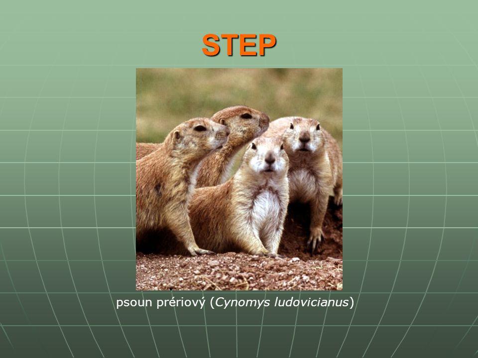 STEP psoun prériový (Cynomys ludovicianus)