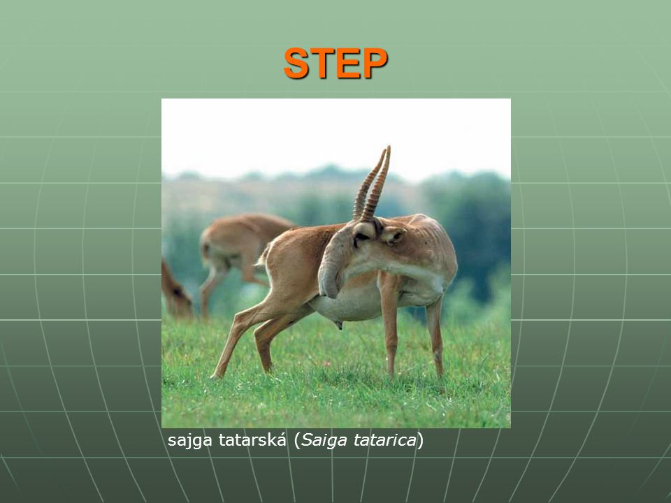 STEP sajga tatarská (Saiga tatarica)
