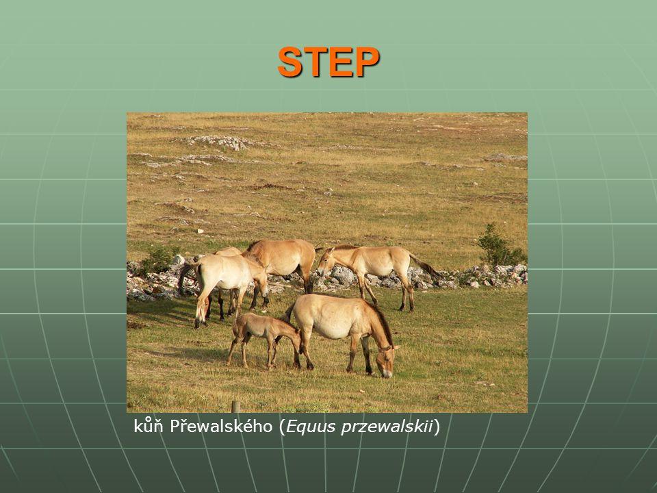 STEP kůň Přewalského (Equus przewalskii)