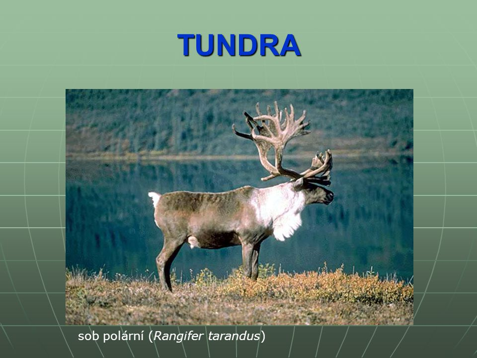TUNDRA sob polární (Rangifer tarandus)