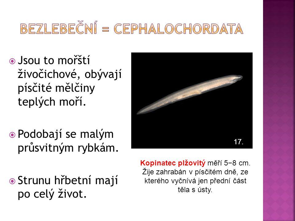BEZLEBEČNÍ = Cephalochordata