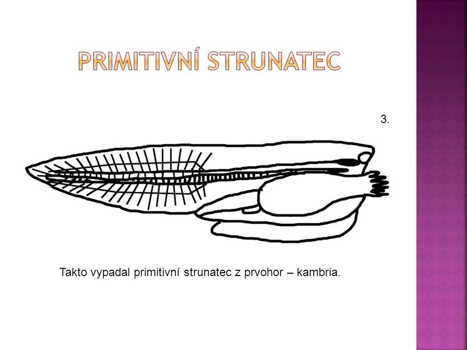 PrimitivnÍ strunatec 3. Takto vypadal primitivní strunatec z prvohor – kambria.