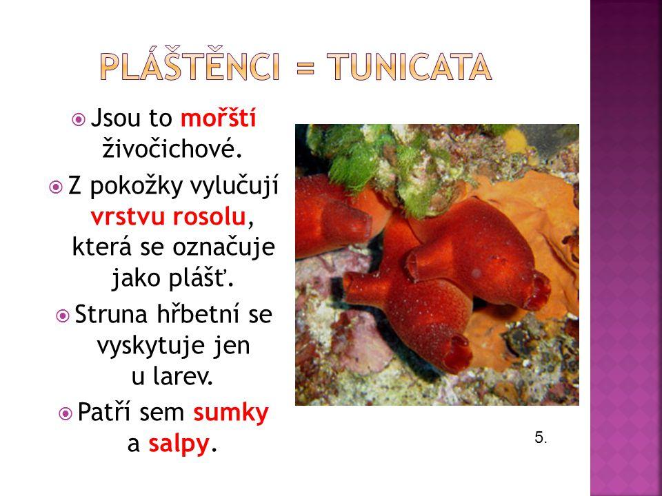 Pláštěnci = tunicata Jsou to mořští živočichové.