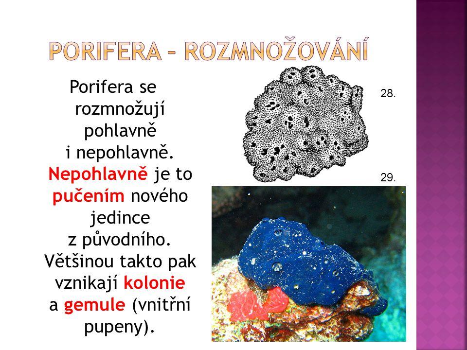 Porifera – rozmnožování
