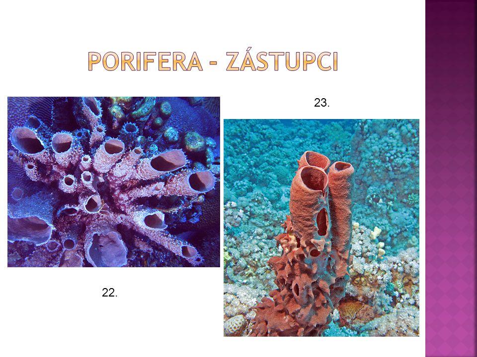 Porifera - zástupci 23. 22.