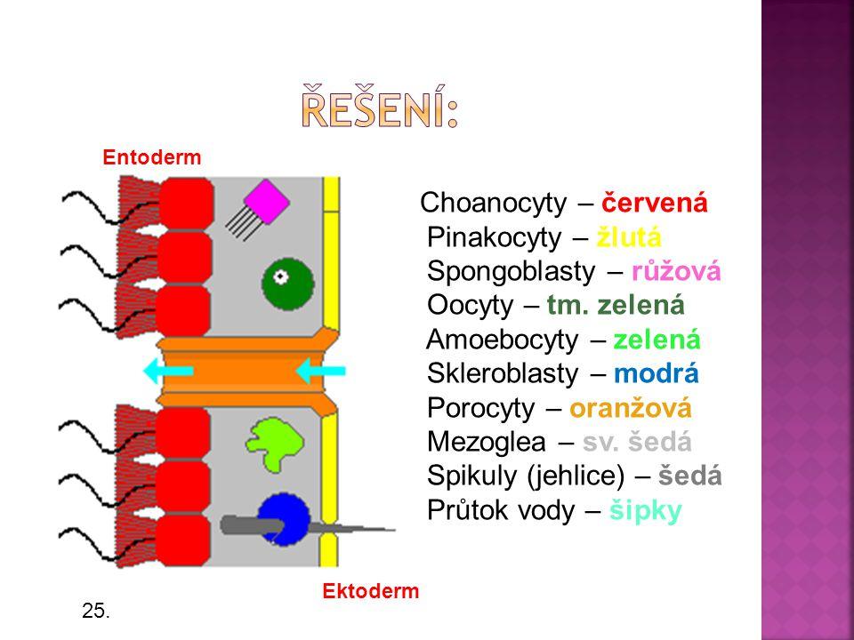 Řešení: Pinakocyty – žlutá Spongoblasty – růžová Oocyty – tm. zelená