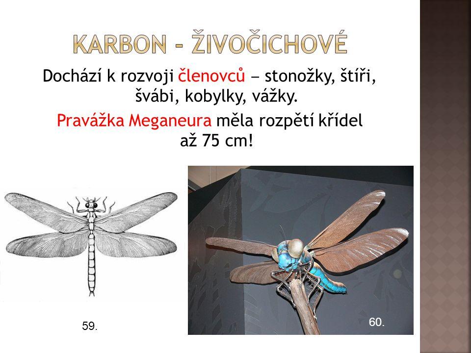 Karbon - živočichové Dochází k rozvoji členovců ‒ stonožky, štíři, švábi, kobylky, vážky. Pravážka Meganeura měla rozpětí křídel až 75 cm!