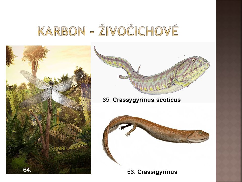 Karbon - živočichové 65. Crassygyrinus scoticus 64. 66. Crassigyrinus