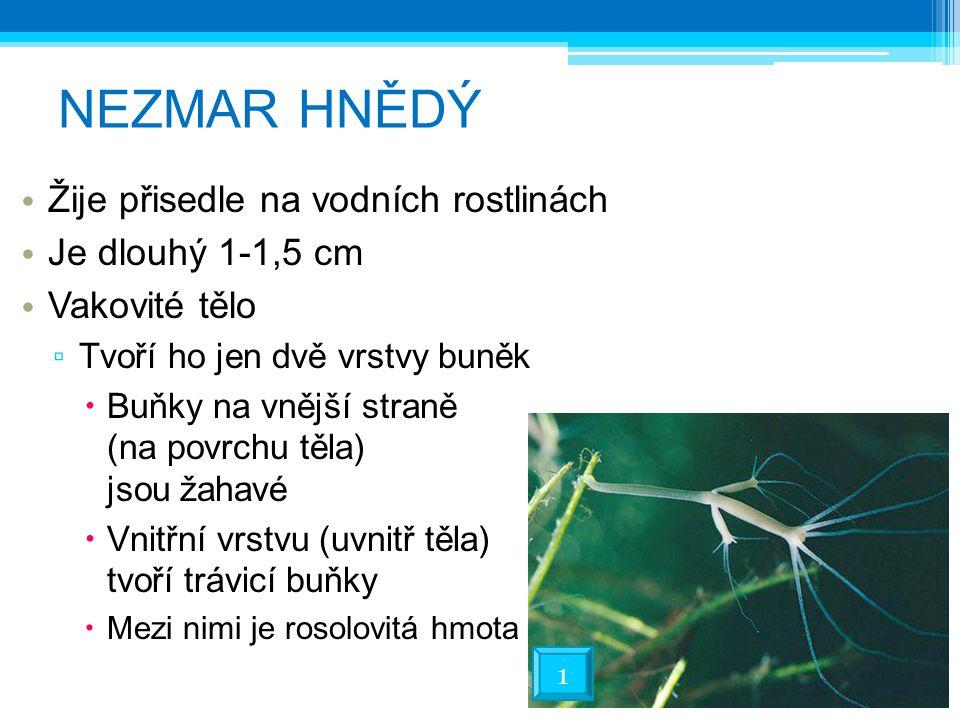 NEZMAR HNĚDÝ Žije přisedle na vodních rostlinách Je dlouhý 1-1,5 cm