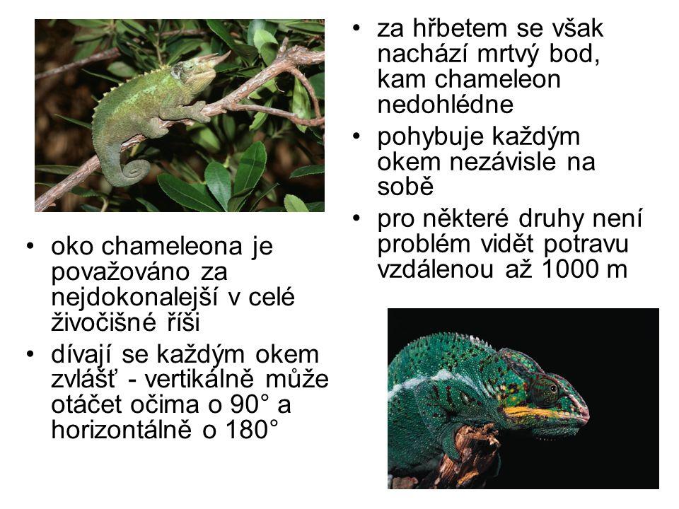 za hřbetem se však nachází mrtvý bod, kam chameleon nedohlédne