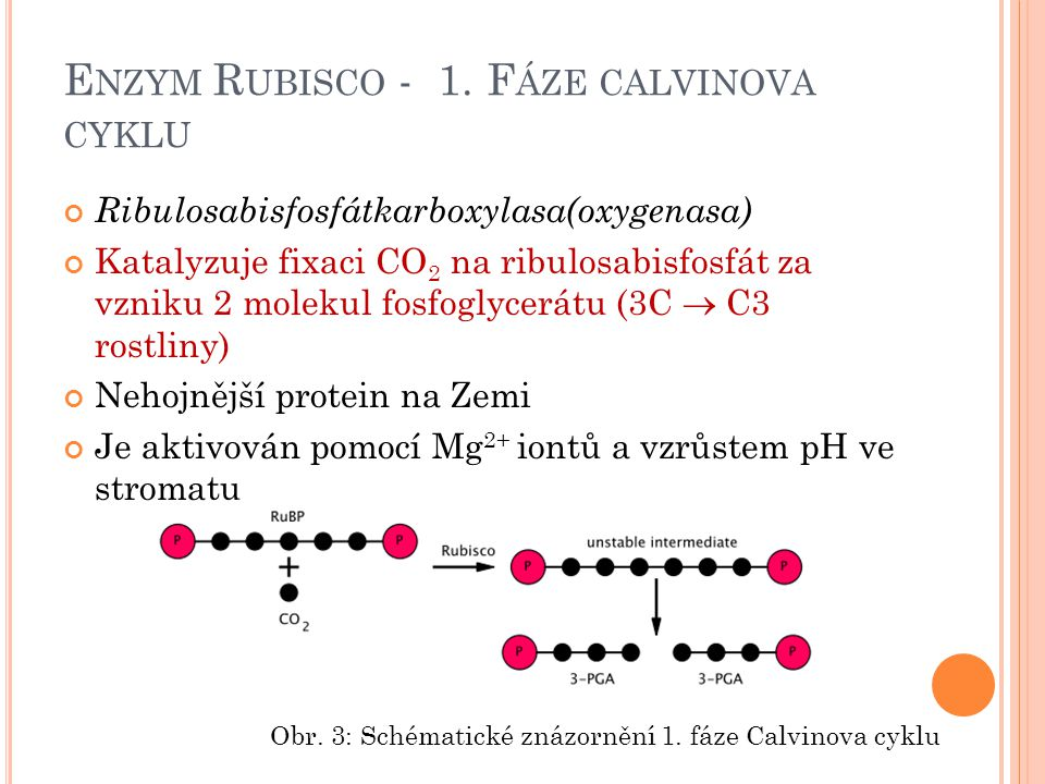 Enzym Rubisco - 1. Fáze calvinova cyklu