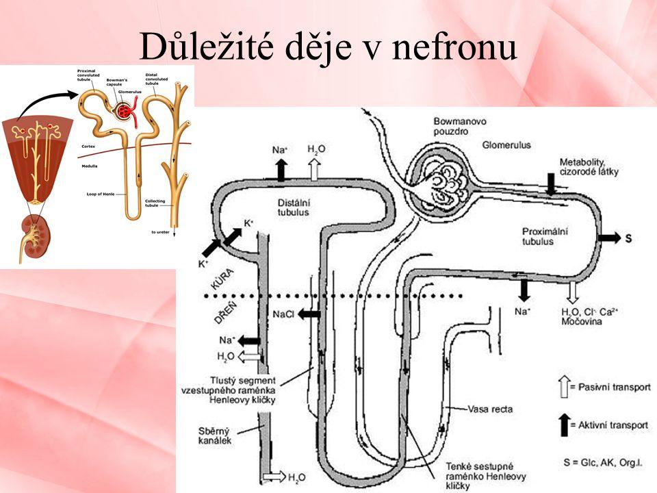 Důležité děje v nefronu