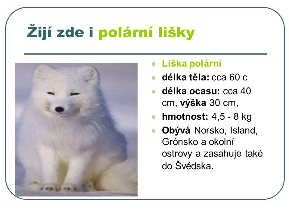 Žijí zde i polární lišky