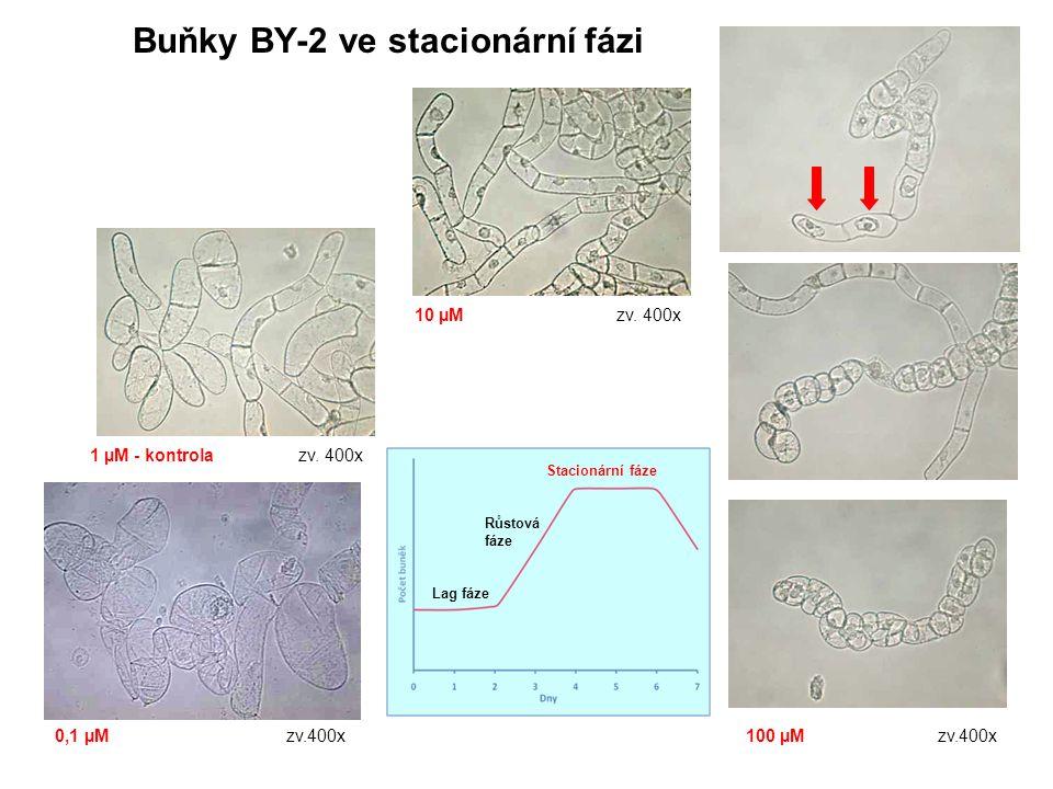 Buňky BY-2 ve stacionární fázi