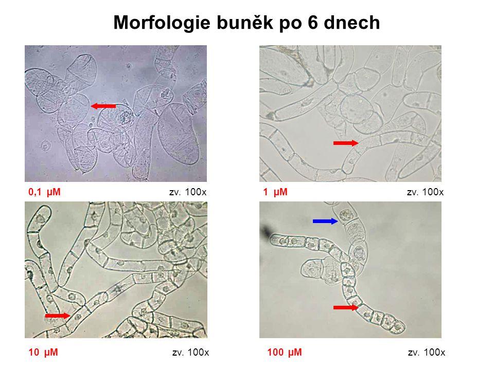 Morfologie buněk po 6 dnech