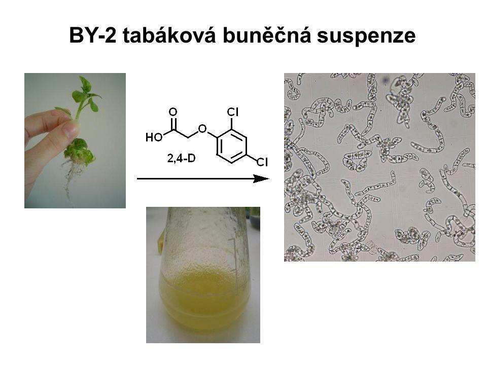 BY-2 tabáková buněčná suspenze