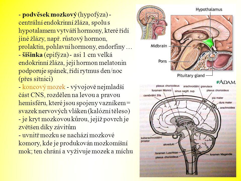 - podvěsek mozkový (hypofýza) - centrální endokrinní žláza, spolu s hypotalamem vytváří hormony, které řídí jiné žlázy, např. růstový hormon, prolaktin, pohlavní hormony, endorfiny …