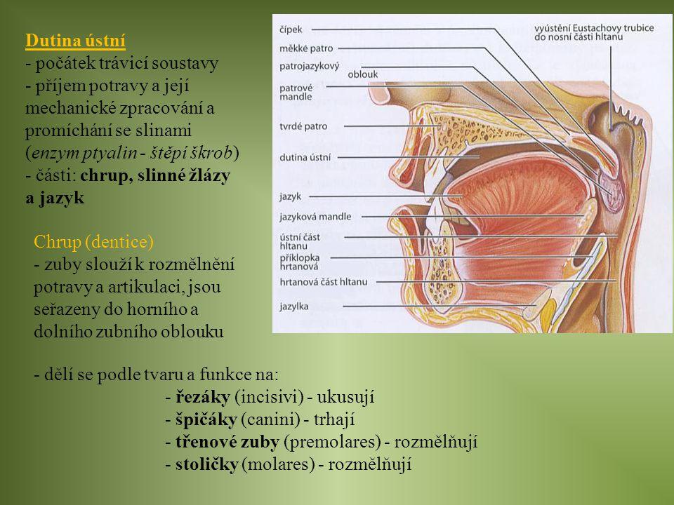 Dutina ústní - počátek trávicí soustavy. - příjem potravy a její mechanické zpracování a promíchání se slinami (enzym ptyalin - štěpí škrob)