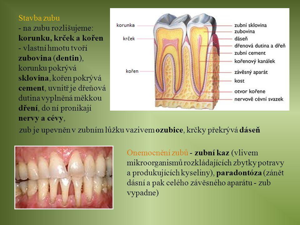 Stavba zubu - na zubu rozlišujeme: korunku, krček a kořen.