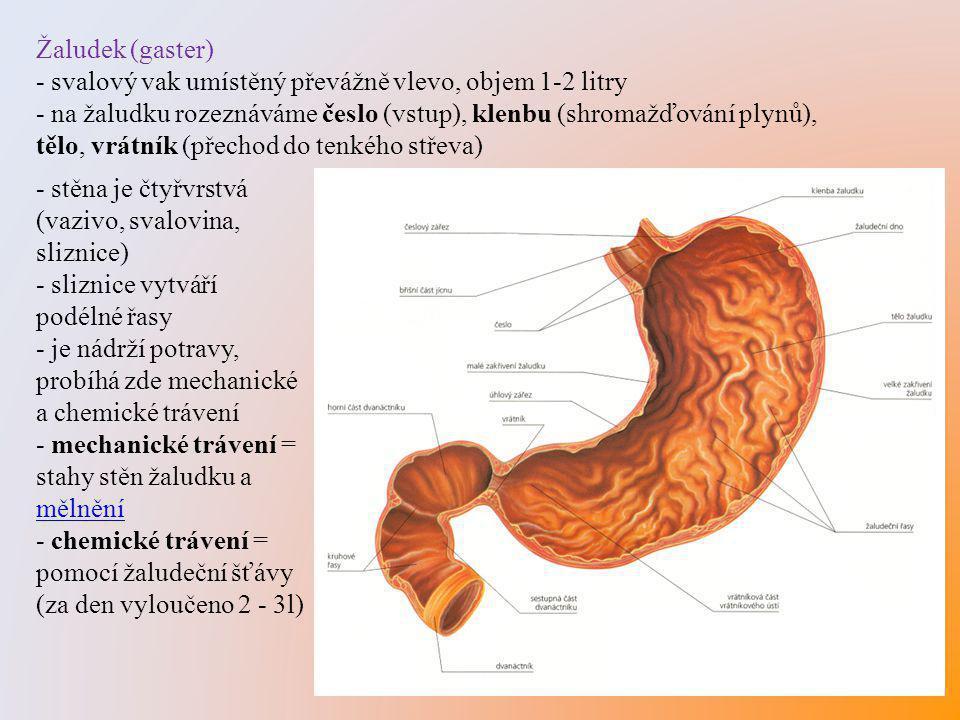 Žaludek (gaster) - svalový vak umístěný převážně vlevo, objem 1-2 litry.