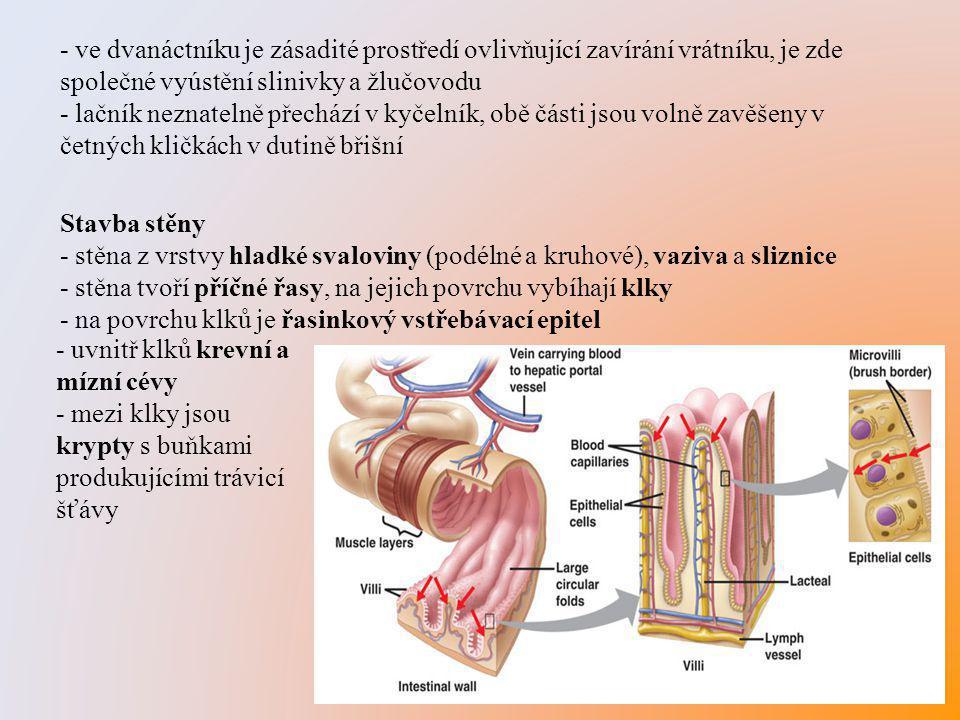 - ve dvanáctníku je zásadité prostředí ovlivňující zavírání vrátníku, je zde společné vyústění slinivky a žlučovodu