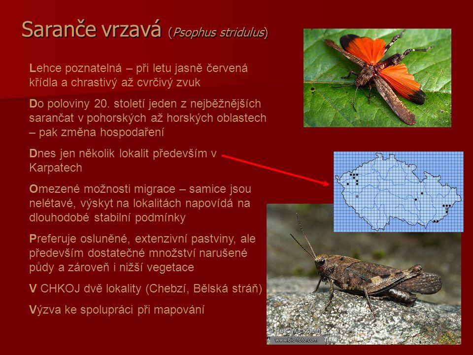 Saranče vrzavá (Psophus stridulus)