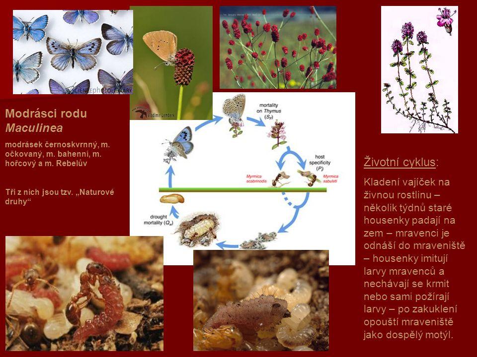 Modrásci rodu Maculinea