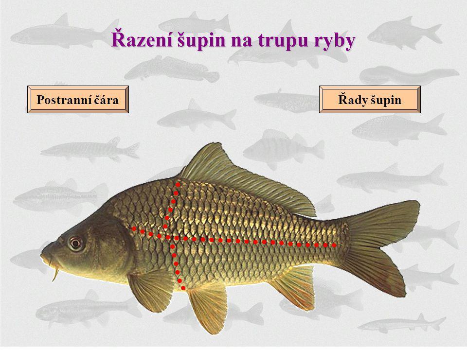 Řazení šupin na trupu ryby