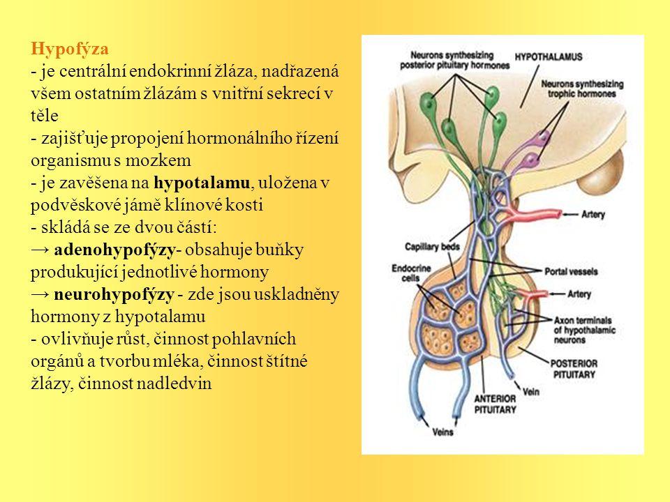Hypofýza - je centrální endokrinní žláza, nadřazená všem ostatním žlázám s vnitřní sekrecí v těle.