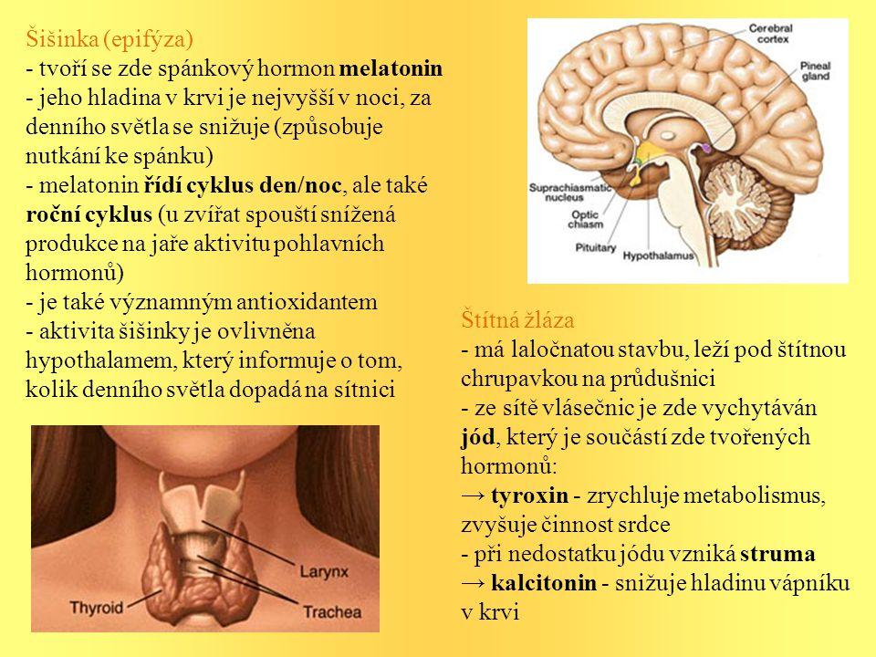 Šišinka (epifýza) - tvoří se zde spánkový hormon melatonin.