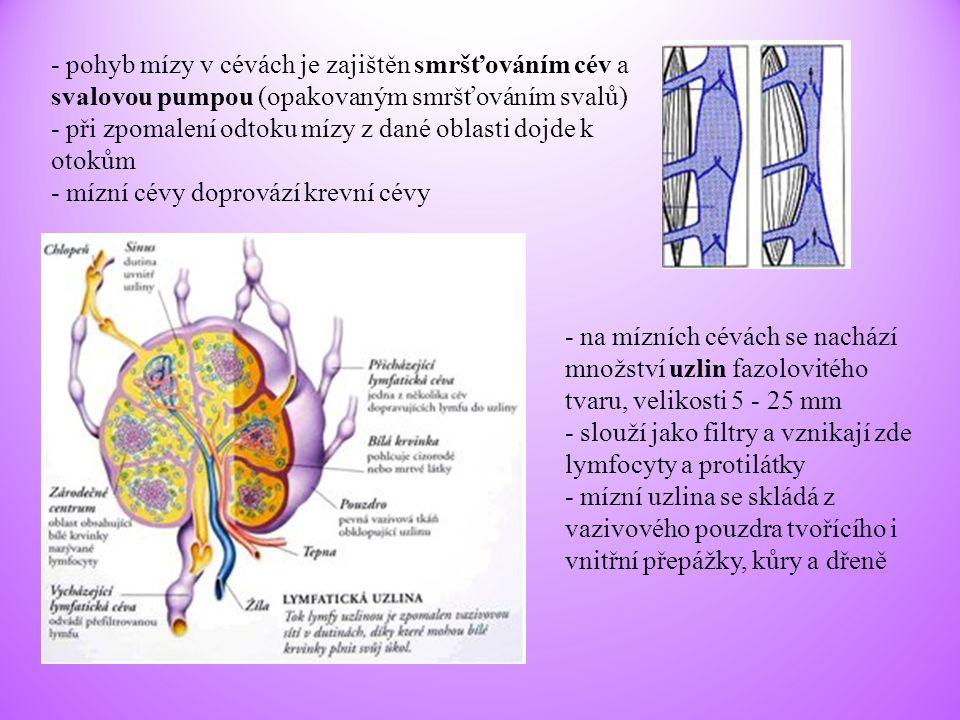 - pohyb mízy v cévách je zajištěn smršťováním cév a svalovou pumpou (opakovaným smršťováním svalů)