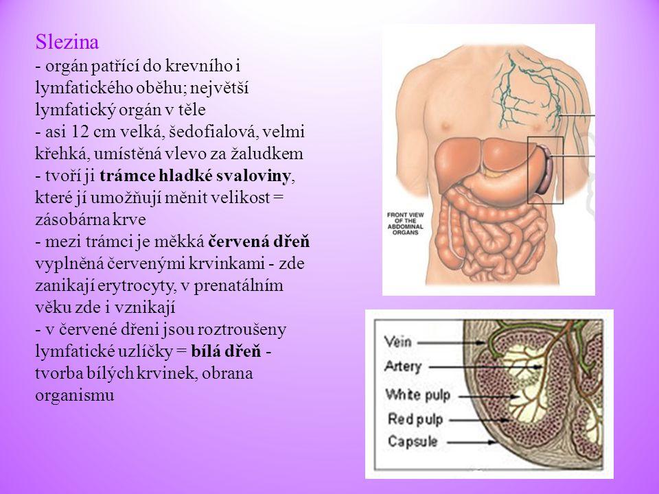 Slezina - orgán patřící do krevního i lymfatického oběhu; největší lymfatický orgán v těle.