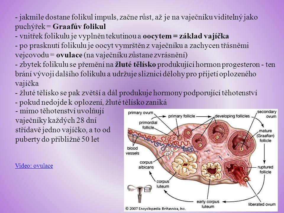 - vnitřek folikulu je vyplněn tekutinou a oocytem = základ vajíčka